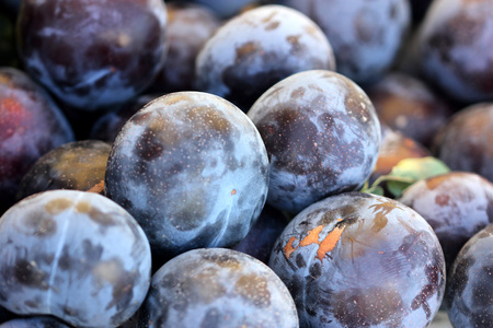 sized: Prunus salicina Burgundy, Japanese plum Burgundy, medium sized fruit with reddish purple skin sometimes covered with white bloom and deep red sweet flesh Stock Photo
