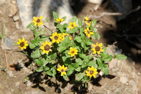 Sanvitalia procumbens, Creeping Zinnia, annual groundcover herb with elliptic leaves and yellow flowerheads with dark disc