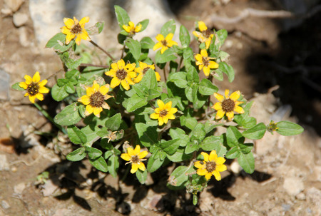 groundcover: Sanvitalia procumbens, Creeping Zinnia, annual groundcover herb with elliptic leaves and yellow flowerheads with dark disc