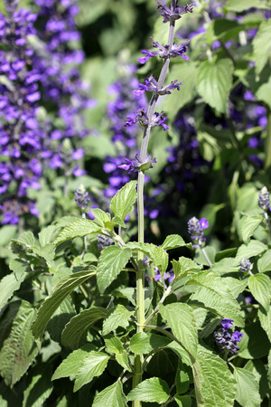 Salvia Mystic Spires Blue A Hybrid With Dark Grey Green Leaves And Purple Flowers