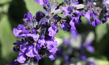 spires: Salvia Mystic Spires Blue, a hybrid with dark grey green leaves and purple blue flowers, often goes under cultivar name Balsalmisp.