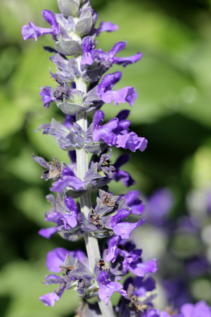 goes: Salvia Mystic Spires Blue, a hybrid with dark grey green leaves and purple blue flowers, often goes under cultivar name Balsalmisp.