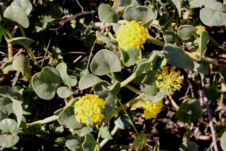 globose: Abronia latifolia, yellow sand-verbena, perennial coastal plant from North America with thick nearly rounded leaves and yellow flowers in terminal globose heads