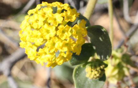 Abronia latifolia, yellow sand-verbena, perennial coastal plant from North America with thick nearly rounded leaves and yellow flowers in terminal globose heads