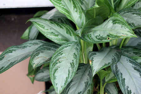 Aglaonema Silver Bay, cultivar of Chinese Evergreen foliage plant with silver green center and dark green stripes or patches along the periphery