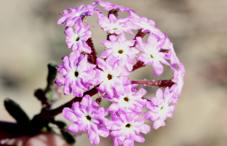 Abronia umbellata, Pink sand verbena, Perennial of Western Coasts of North America with succulent leaves and pink to purple flowers in terminal globose heads