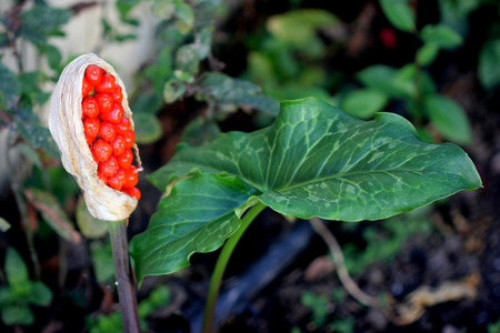 Arum maculatum ripe berries, covered by dried spathe, red berries are extremely poisonous, ingestion causing harm to throat and stomach