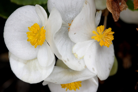 Begonia semperflorens white, Begonia, herbaceous perennial with thick nearly rounded leaves and white flowers
