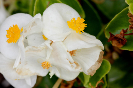 nearly: Begonia semperflorens white, Begonia, herbaceous perennial with thick nearly rounded leaves and white flowers