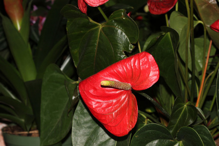 leathery: Anthurium andraeanum, Tailflower, Flamingo flower, ornamental herb with dark green leathery leaves, with spadix inflorescence consisting of spike subtended by a heart shaped usually red spathe