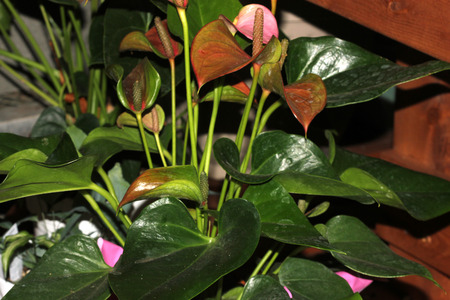 usually: Anthurium andraeanum, Tailflower, Flamingo flower, ornamental herb with dark green leathery leaves, with spadix inflorescence consisting of spike subtended by a heart shaped usually red spathe