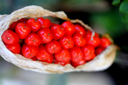 arum: Arum maculatum ripe berries, covered by dried spathe, red berries are extremely poisonous, ingestion causing harm to throat and stomach