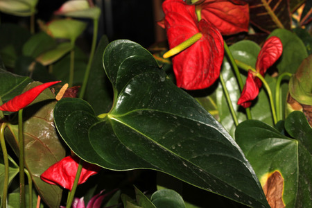 consisting: Anthurium andraeanum, Tailflower, Flamingo flower, ornamental herb with dark green leathery leaves, with spadix inflorescence consisting of spike subtended by a heart shaped usually red spathe
