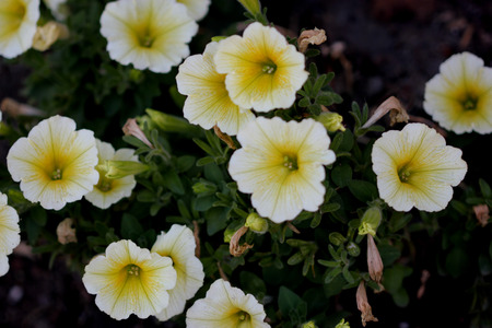habit: Calibrachoa parviflora Superbells Yellow Chiffon, mini Petunia like plant with cascding habit and smaller pale yellow flowers with darker center. Stock Photo