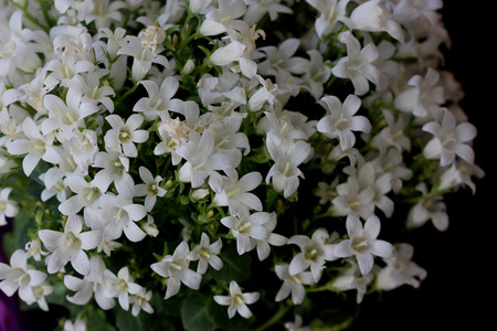 habit: Campanula portenschlagiana White Get Mee, Dalmatian Bellflowers , cultivar with low cushion forming habit, small nearly rounded toothed leaves and white flowers