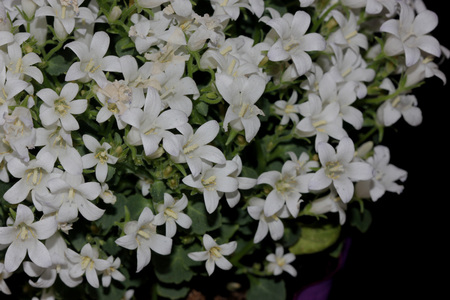 nearly: Campanula portenschlagiana White Get Mee, Dalmatian Bellflowers , cultivar with low cushion forming habit, small nearly rounded toothed leaves and white flowers