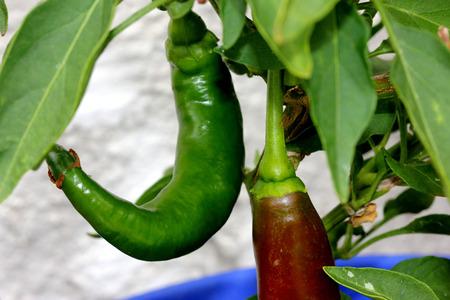 Garden Salsa Pepper, Capsicum annuum Garden Salsa, hybrid pepper growing up to 20 cm long, initially green turnibg to yellow, brown and finally red, medium hot in taste