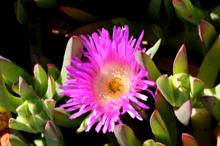 Carpobrotus edulis, Hottentot-fig, Highway ice plant, seaside plant with 3-angled succulent leaves and pink flowers on long stalk