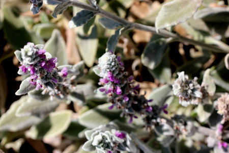 syn: Stachys byzantina, Lambs-ear, Woolly hedgenettle, syn: S. lanata, cultivated ornamental herb with silky lanate whitish hairs and darker purple flowers in spicate terminal inflorescence Stock Photo