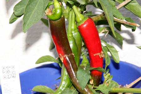 Garden Salsa Pepper, Capsicum annuum Garden Salsa, hybrid pepper growing up to 20 cm long, initially green finally turning red, medium hot in taste