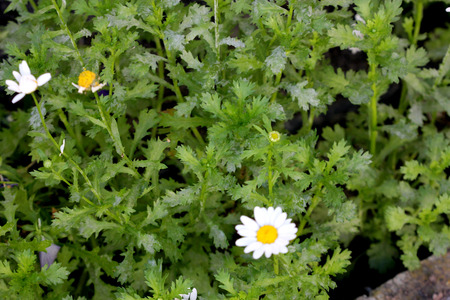 low cut: Chrysanthemum paludosum, Creeping daisy, low growing perennial with light green shallowly cut leaves and small white heads with yellow disc Stock Photo