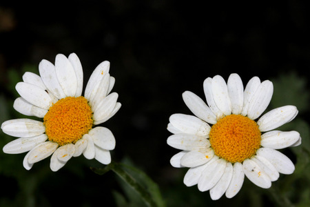 Chrysanthemum paludosum, Creeping daisy, low growing perennial with light green shallowly cut leaves and small white heads with yellow disc Stock Photo