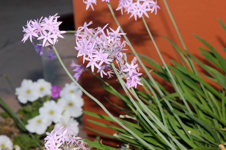 Tulbaghia violacea, Society garlic, Pink agapanthus, clump-forming perennial herb with linear leaves and fragrant purple flowers in an umbel on a long stalk.