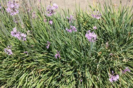 umbel: Tulbaghia violacea, Society garlic, Pink agapanthus, clump-forming perennial herb with linear leaves and fragrant purple flowers in an umbel on a long stalk.
