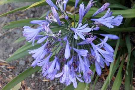 Agapanthus praecox, African lily, Lily of Nile, perennial tuft forming herb with basal linear leaves and blue flowers in an umbel carried on a long scape