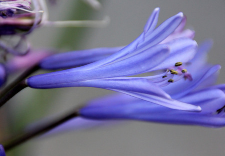 umbel: Agapanthus praecox, African lily, Lily of Nile, perennial tuft forming herb with basal linear leaves and blue flowers in an umbel carried on a long scape