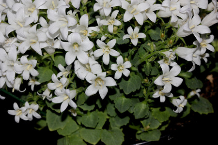 nearly: Campanula portenschlagiana White Get Mee, Dalmatian Bellflowers , cultivar with low cushion forming habit, smaal nearly rounded toothed leaves and white flowers Stock Photo