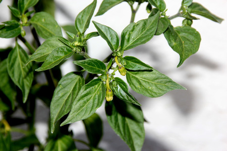 serrano: Serrano Chili Pepper, Capsicum annuum Serrano, a Mexican pepper considered hotter than Jalapeno, used mostly in Salsa and eaten raw