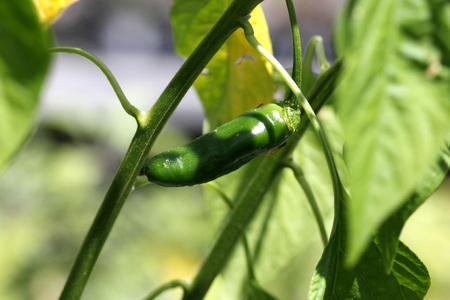 hotter: Serrano Chili Pepper, Capsicum annuum Serrano, a Mexican pepper considered hotter than Jalapeno, used mostly in Salsa and eaten raw