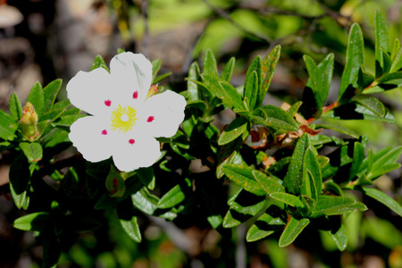 lance shaped: Cistus ladanifer, Gum rockrose, Brown-eyed rockrose, small evergreen shrub with dark green lance shaped leaves and white flowers with red to brown spot at base of each petal Stock Photo