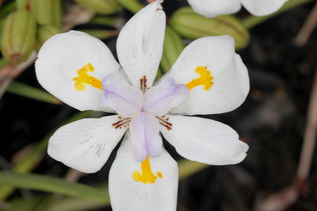 perianth: Dietes grandiflora, Large Wild Iris, Fairy Iris, rhizomatous perennial herb with linear leaves and large white flowers with yellow patches on outer perianth and dark purple stripes on inner
