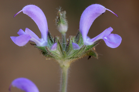 barely: Salvia mukerjeei, Woolly Sage, syn: S. lanata, small perennial herb barely reaching 25 cm tall with densely woolly leaves wrinkled beneath and blue-purple flowers