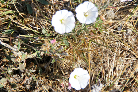 convolvulus: Convolvulus arvensis, Field bindweed, creeping herbaceous perennial with arrow-head shaped leaves and trumpet-shaped white to pink flowers