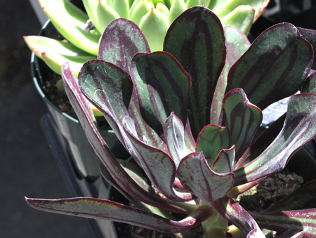 vividly: Echeveria nodulosa, Painted Echeveria, succulent with basal rosette of absinthe-green pointed leaves, slightly concave above and keeled below and are vividly marked with red on the margins and mid leaf