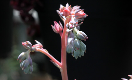 frilly: Echeveria shaviana Pink Frills, Mexican Hens and Chicks, succulent plant with frilly purple margined leaves and pink flowers Stock Photo