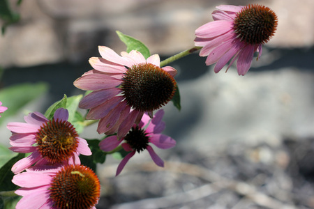 lanceolate: Echinacea purpurea, Purple Coneflower, , herbaceous perennial herb with lanceolate leaves and purple radiate flower heads with cone shaped disc