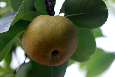 globose: Pyrus pyrifolia, Asian Pear, cultivated deciduous tree with shining ovate leaves, white flowers and globose fruits with white dotted skin and crisp sweet flesh Stock Photo