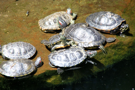 along: Turtles resting along a pond in California, USA, swimming in water along with fish and periodicall resting along bank Stock Photo