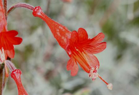 Epilobium canum Carmens Grey, California Fuchsia, syn: Zauschneria californica, cultivar with silvery grey foliage and red tubular flowers