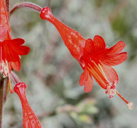 silvery: Epilobium canum Carmens Grey, California Fuchsia, syn: Zauschneria californica, cultivar with silvery grey foliage and red tubular flowers
