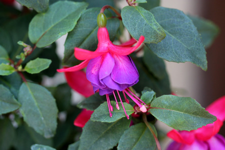 drooping: Fuchsia hybrida Black Prince, compact shrub with green leaves and drooping beautiful flowers with red calyx and bluish purple corolla