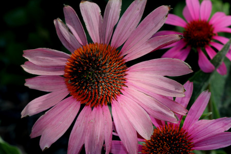 Echinacea purpurea, Purple Coneflower, herbaceous ornamental perennial from USA with ovate leaves and purple radiate heads with raised convex disc.