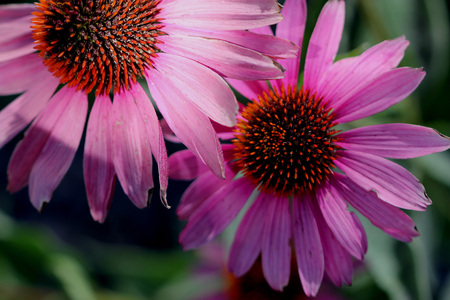 radiate: Echinacea purpurea, Purple Coneflower, herbaceous ornamental perennial from USA with ovate leaves and purple radiate heads with raised convex disc.