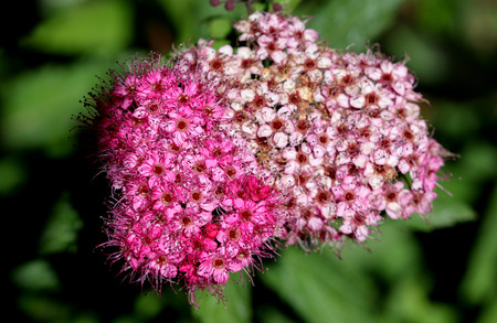 hedge plant: Spiraea japonica, Japanese meadowsweet, Japanese spiraea, deciduous ornamental shrub with toothed leaves and flat topped rosy pink clusters of flowers, common hedge plant. Stock Photo