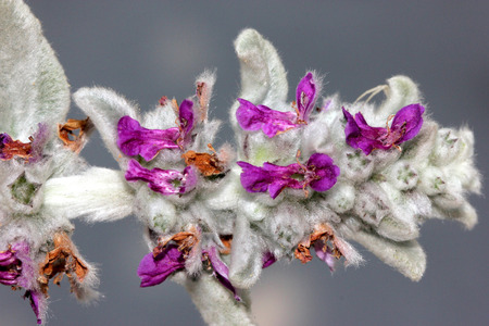 silky hair: Stachys byzantina, Lambs-ear, Woolly hedgenettle, syn: S. lanata, cultivated ornamental herb with silky lanate whitish hairs and darker purple flowers in spicate terminal inflorescence Stock Photo