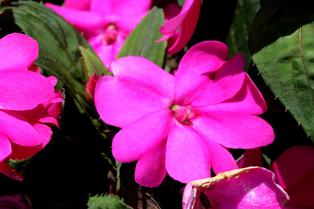 suitable: Impatiens x hybrida Sunpatiens Compact Magenta, cultivar with compact habit and beautiful magenta flowers, suitable for landscapes and containers Stock Photo